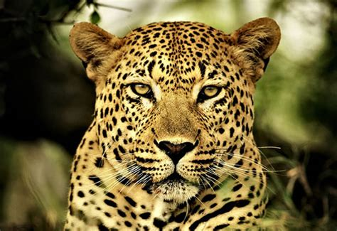 imagenes de jaguar hembra enciclopedia animal animales de la sabana leopardo