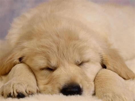 puppy screensavers sleeping puppy screensaver