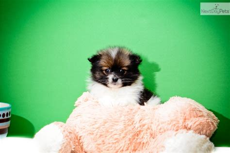 pomeranian puppies for sale in toledo ohio pomeranian puppy for sale near cleveland ohio 3da17d17 3011