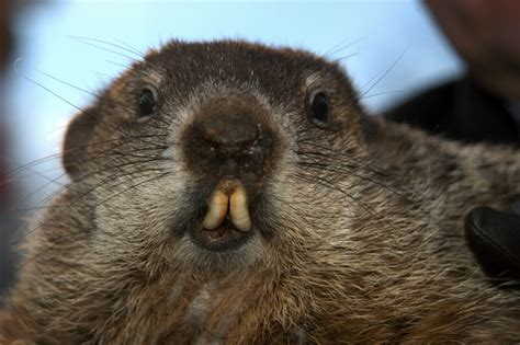 groundhog day how groundhog day how often does punxsutawney phil get it right