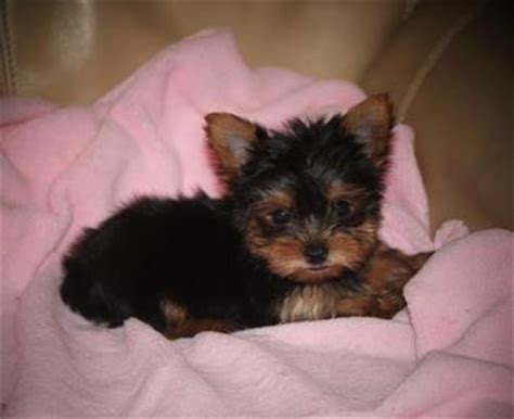 yorkie for sale tucson yorkie yorkies terrier puppies in tucson arizona breeds picture