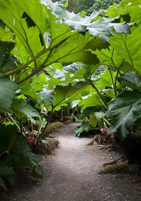 foglie e fiori genova la gunenra pianta dalle foglie giganti come coltivarla
