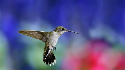 colibri bird high definition wallpapers hd wallpapers
