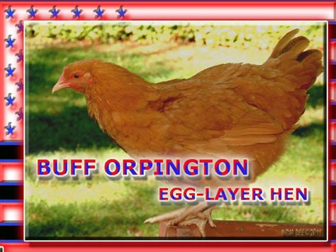 chickens  backyard egg laying hen breeds hubpages