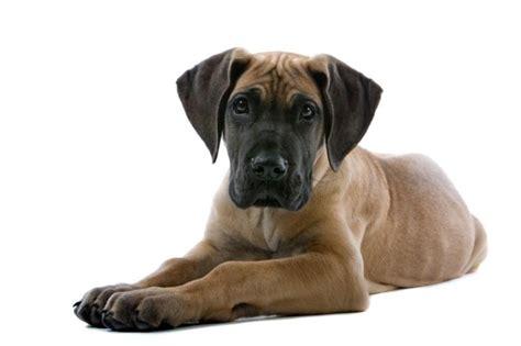 great dane puppies rescue great dane puppies for adoption bazar