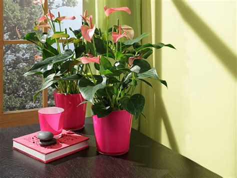 Zimmerpflanzen Bestellen 1185 zimmerpflanzen bestellen zimmerpflanzen versand