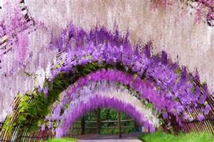 Flower Tunnel by A Colorful Walk Wisteria Tunnel At Kawachi Fuji Gardens
