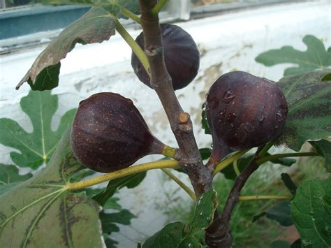 Bibit Buah Tin Brown Turkey ciri fisik pohon buah tin brown turki berkebun itu