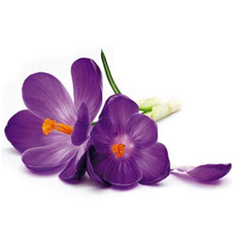 fiore viola quadro fiore viola pintdecor graphicollection quadri
