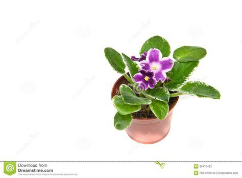 violet leaves turning white 28 images pests isolated stock photos pests isolated stock