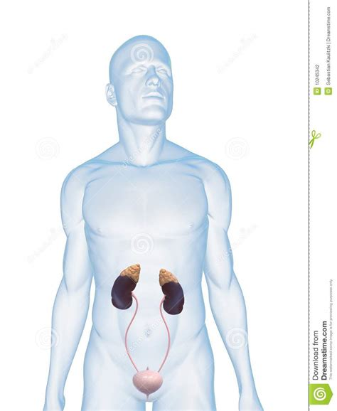 Human urinary system stock illustration. Image of ... Human Urination