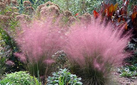 buy pink muhly grass muhlenbergia capillaris 3 gallon