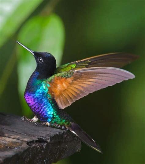 colors of hummingbirds hummingbird colors birds beautiful