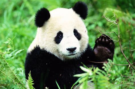 Boneka Panda Panda Hitam Putih Gigit Bambu 5 fakta unik tentang panda bobo id