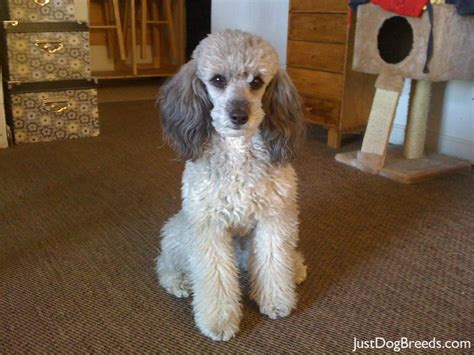 photoes of different types of poddles cinca poodle toy dog breeds