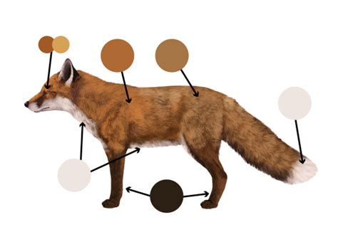 fox colors how to draw animals foxes