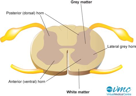 spinal cross section spinal cord anatomy and function myvmc