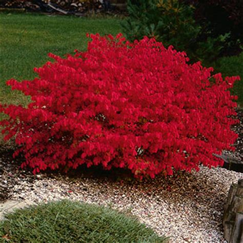 Red Flowering Bushes And Shrubs - euonymus alatus compactus brookdale treeland nurseries limited