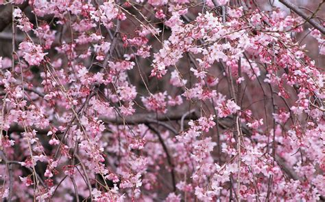 cherry blossoms pictures wallpapers cherry blossom