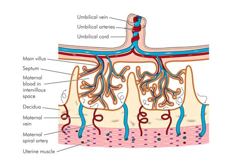 placenta diagram placentas of possibilities now used to help heal