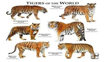 all tiger sub species species list youtube