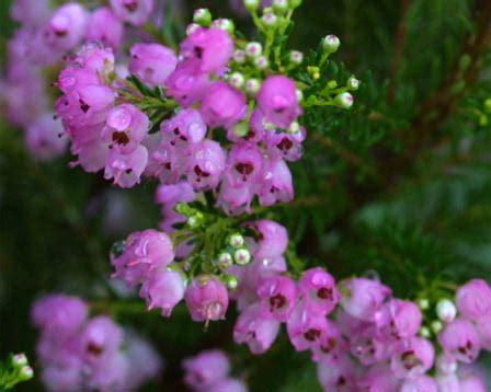 erica fiori erica gracilis erica gracilis ericaceae