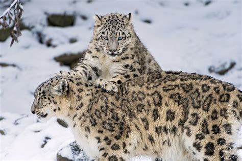 wallpaper of cat family snow leopard snow leopard big cat family kitten winter