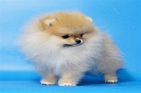 teacup pomeranian images 12 things you need to about teacup pomeranian breeds