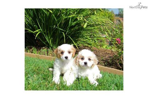 san diego puppy adoption pomsky adoption san diego breeds picture