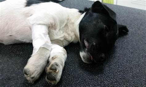 kicked puppy puppy who was kicked like a football put to sleep for catastrophic injuries