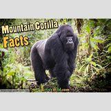 Mountain Gorilla Habitat   650 x 433 jpeg 78kB