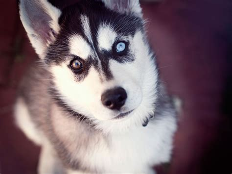8 Care Tips For A Husky by Husky Of Two Different Wallpaper Husky