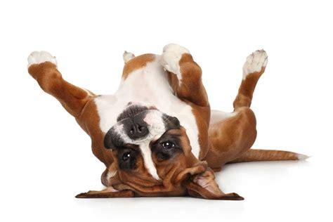 alimentazione cucciolo boxer boxer carattere origini aspetto taglia alimentazione