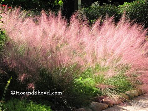 hoe and shovel purple muhly grass with pruning info