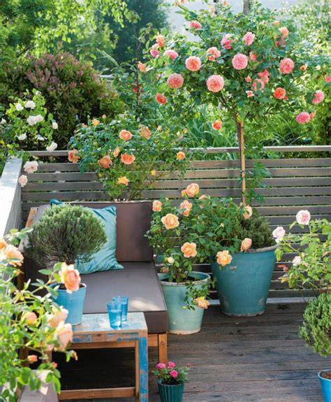 small rose garden growing roses  containers balcony