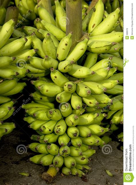 banana harvest royalty  stock image image