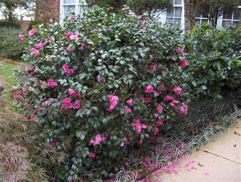 evergreen shrub fall blooming pictures to pin on pinterest