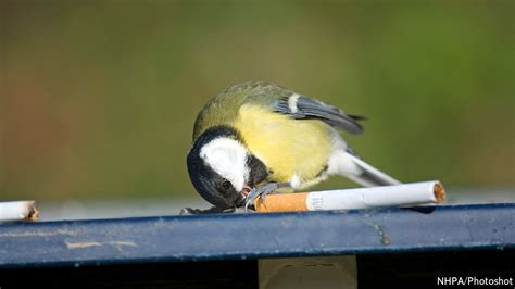 some birds use discarded cigarettes to fumigate their