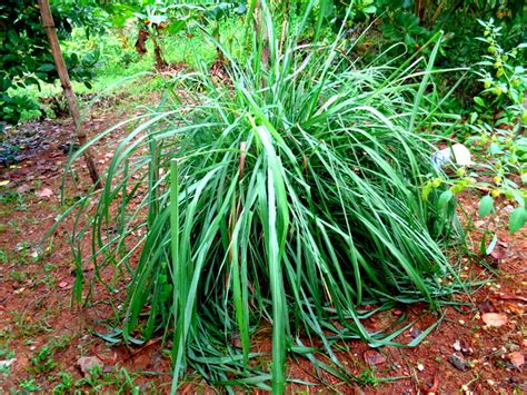 citronella plants protect our home in the philippines from