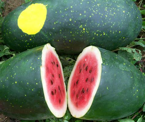 amish moon  stars watermelon   southern exposure