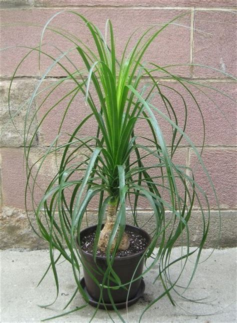 ponytail palm tree information how to care for a