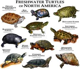 freshwater turtles of north america by rogerdhall on