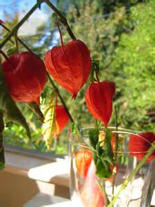 Chinese Lantern Flower Chinese Lantern Flowers Pictures Amp Meanings