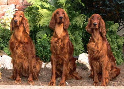 red setter dog weight irish setter dog breed history and some interesting facts