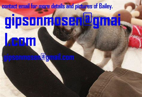 pug breeders in northeast ohio beautiful akc pug puppy for rehoming northeast ohio dogs for sale puppies