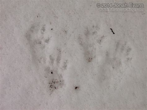 The Tracks identifying animal tracks in snow 5 common species in