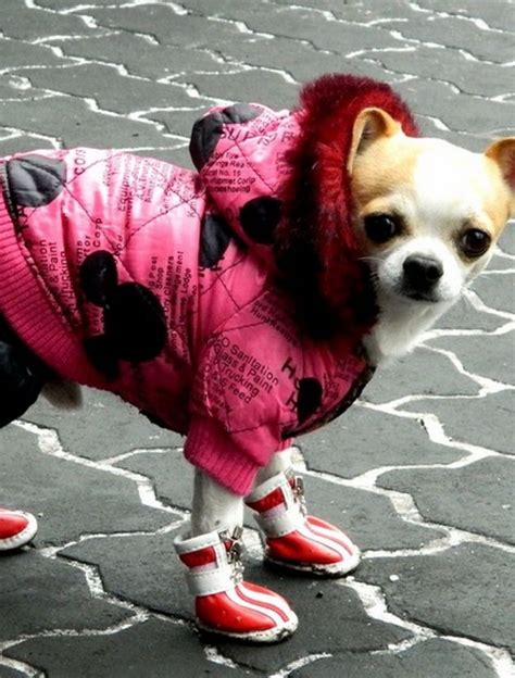 dogs in clothes dogs in clothes goodtoknow