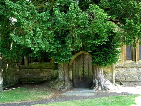 the brst chriss tree and litlle church 78 best images about yew trees and their history on forever green taxus baccata and