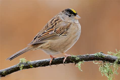 golden crowned sparrow 6