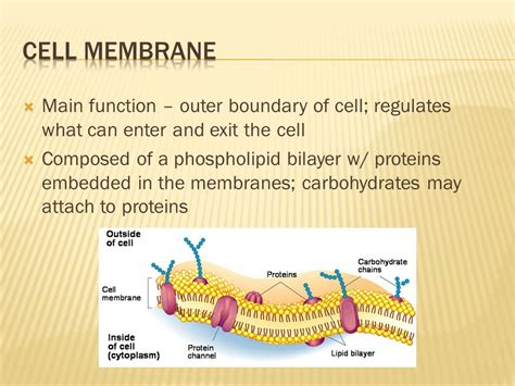 carbohydrates in the cell cell membrane carbohydrates related keywords suggestions